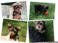 We have a 12 week old, male miniature Yorkshire terrier