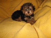 I am 15 week old male Yorkie-poo and have my first