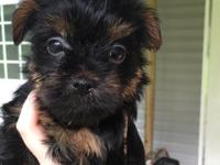 Adorable yorkie puppies for sale. They are 6 weeks old