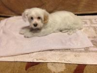 Very sweet, cute, and lovable Yorkie-Poo puppy.