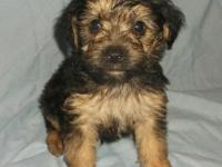 Danny Boy is a cute yorkie poo baby. He was born July