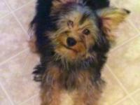 MALE Yorkie and Poodle Mix- 6 months old