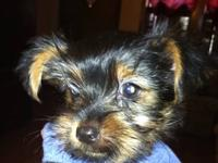 I have a male yorkie pup 12 weeks old for sale. He has