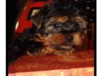 Yeah We have 2 male Yorkie young puppies left that