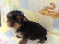 Black/Tan male Yorkie puppy Gold Yorkie puppy Born