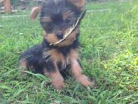 I only have 1 Yorkie puppy left for sale. The price is