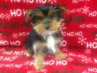 Hes a very sweet, cute, and lovable Yorkie puppy!