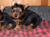 Attractive male Yorkie puppy ready to go to his new