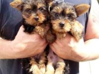 YORKIE puppy- male * TEXT cell ONLY *  Male/ 11 weeks/