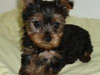 Animal Type: Dogs Breed: Yorkie We have male and female