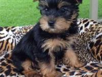 I Have a precious little Male Yorkie Baby for sale. Has