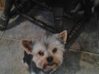 I have a male yorkie up for adoption. Hes 4 years old,