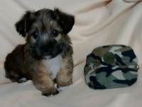 Adorable chunky, spunky male Yorkiepoo. AVAILABLE JUNE