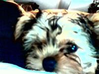 I have 2 very lovable 3 month old male yorkie puppies.