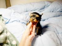 8weeks old male yorkshire terrier available. dock tail,