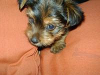 Greetings i have a charming yorkie guy puppy. He was