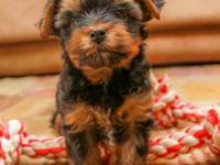 We have ONE Male Yorkie baby available for his new
