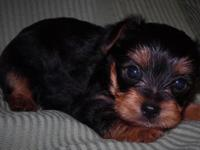 3 male Yorkshire terrier. Prepared to go February 20.