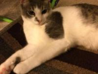 Tabby-6 months old Male DON-3/4/15 Neutered Current on