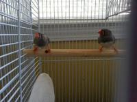 Three typical colored male zebra finches who hatched at