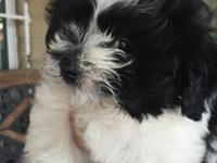 Bischon Frise/Shih Tzu male puppies for sale. Parents
