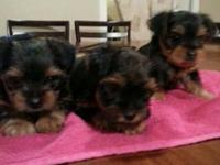 I have stunning male AKC yorkie young puppies. JUST