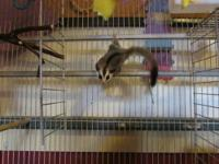 I have a pair of sugar gliders for sale. I have a