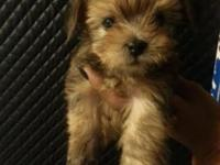 Hello, I have one male toy yorkie left for a good home
