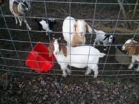 $100.00 per goat. 3 male Boer goats for sale. Born in