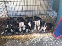 I have four pitbull/bully pups . They are brindle/white