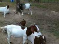 i have a good young male Boer goat he will be a real