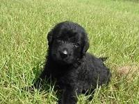 F1 Labradoodle male puppy born upon 7/13ready to go