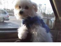 We only have two male maltese puppies available for