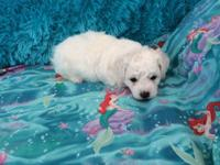 Our Malti-chon (Bichon Frise and Maltese) puppies are