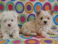 These are two very adorable and lovable Morkie