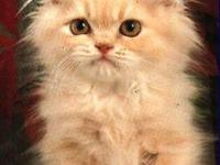 I have a beautiful cream tabby persian male ready now.