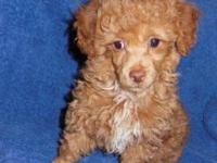 Toy Poodle. Male. black. Sire is a True Red Toy Poodle