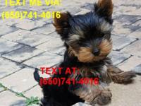 I have 1 male teacup yorkie puppy ready for his new