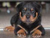 9 weeks old. Ready NOW male rottweiler puppies and Toy