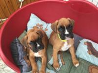 Males and females Boxer Puppies For Sale.They are vet