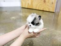 Animal Type: Dogs Breed: Pomeranian Males and Females