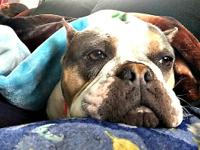 Maley is a 3 years old English bulldog. She enjoys