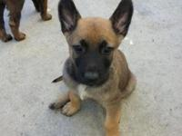 beautiful purebred Belgia Malinois -Bord October 13 - 7