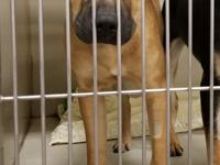 Malone is a 6-month-old Black Mouth Cur/Shepherd-type