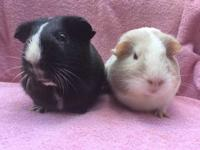 Malone and Mala are two American guinea pig girls who