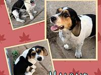 My story Malone is a 1 year old beagle mix, utd on