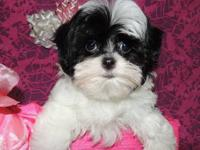 THIS TINY PRINCESS IS A MALSHI POO PUPPY. THAT MEANS