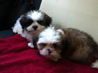Malshi puppies mom is shihtzu and dad is Maltese.