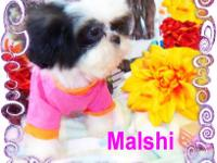 MALSHI?S.......Both males and Females available. The