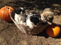 4 beautiful non shedding hypoallergenic Maltese/shihtzu